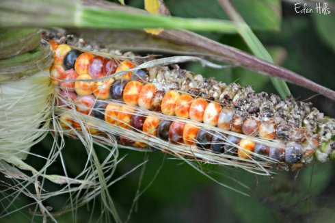 Indian Corn_4371ews