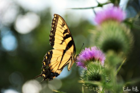 Swallowtail 4298ws