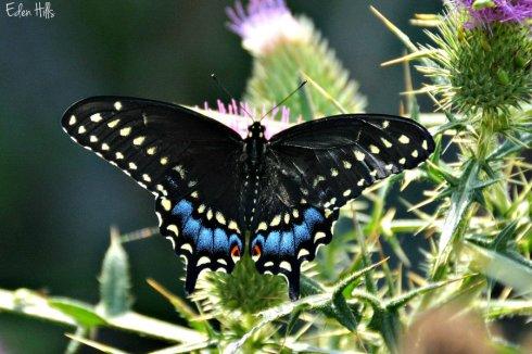 swallowtail 5031ews