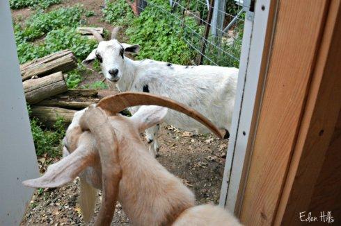 doe-goats_5417ews
