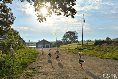geese_5206ews