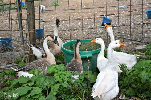 geese_5212ews