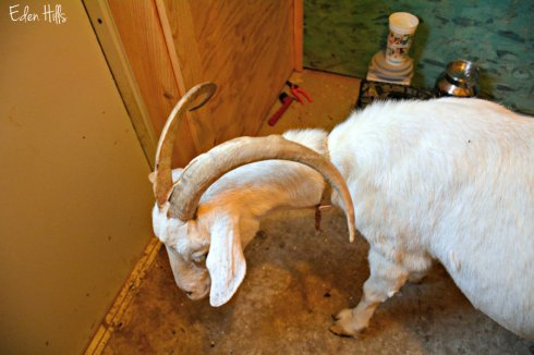 goat-at-door_5415ews