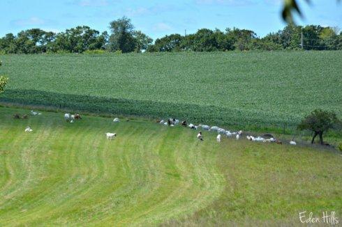 goat pasture_4596ews