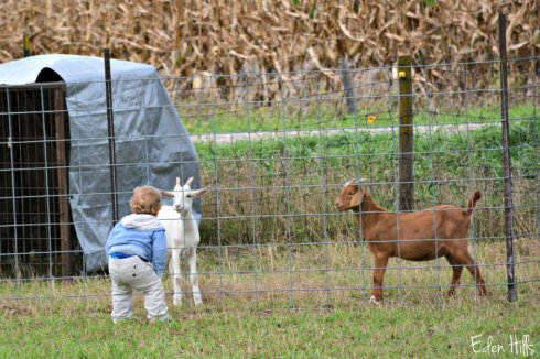 goats-and-kid_5727ews