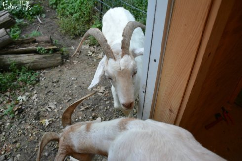 goats_5413ews