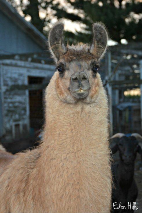 Llenny the llama