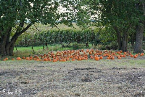 pumpkins_5457ews