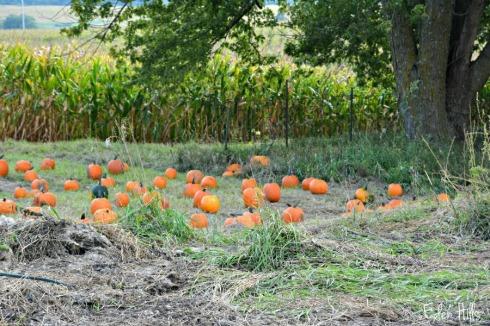 pumpkins_5458ews
