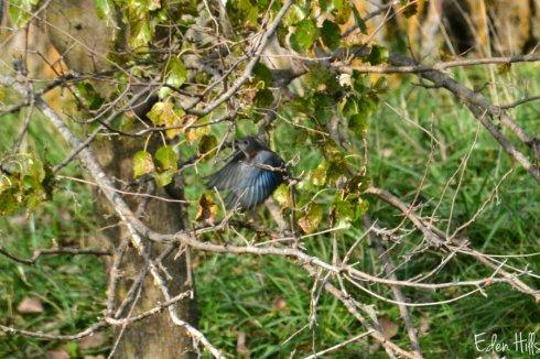bluebird_6056ews