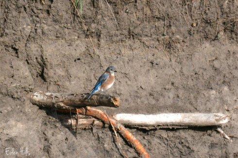 bluebird_6059ews