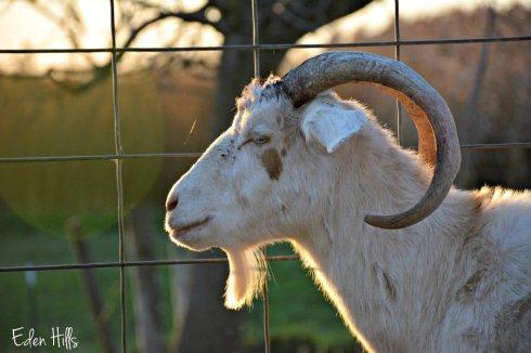 doe-goat_6290ews
