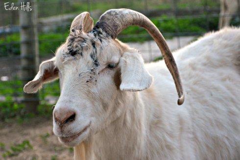 goat-horn-injury_6380ews