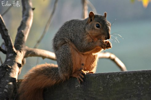 squirrel_6093ews