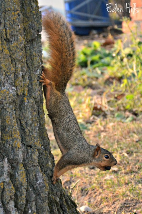 squirrel_6137ews