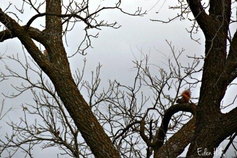 woodpecker-squirrel_6423ews