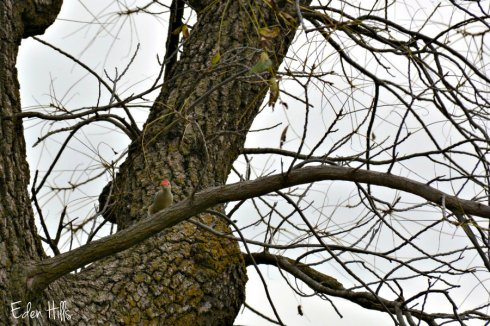 woodpecker_5878ews