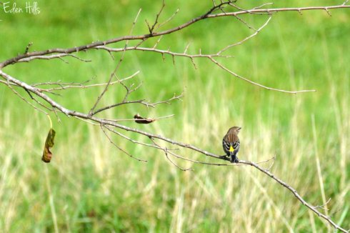 yellow-rumped-warbler_6061ews