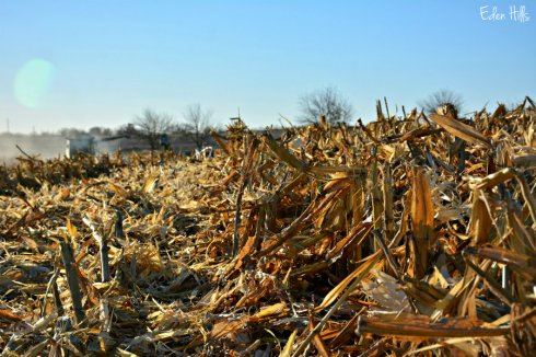 combined-corn_7205ews