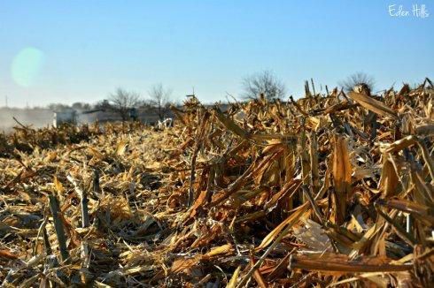 combined-corn_7205ews