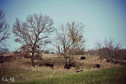 cows_7391ews