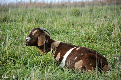 doe-goat_7069ews