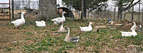 geese_8051ews