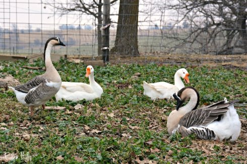 geese_8074ews
