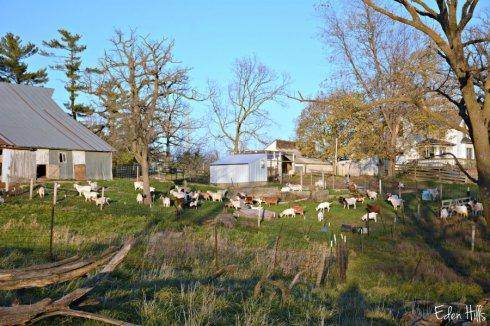 goat-barnyard_7633ews