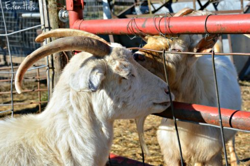 goat-pair_7811ews