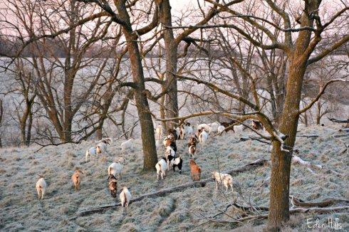 goats_8000ews