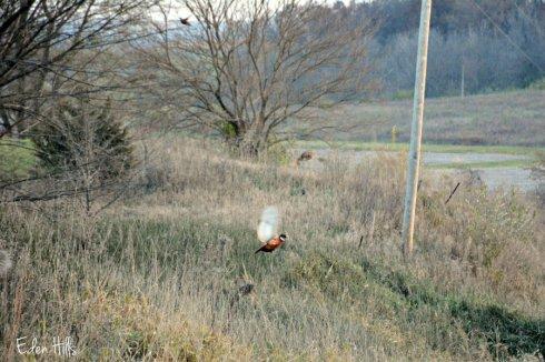 pheasants_7715ews