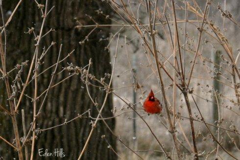 cardinal_8502ews