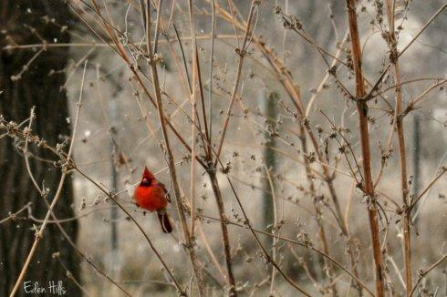 cardinal_8504ews
