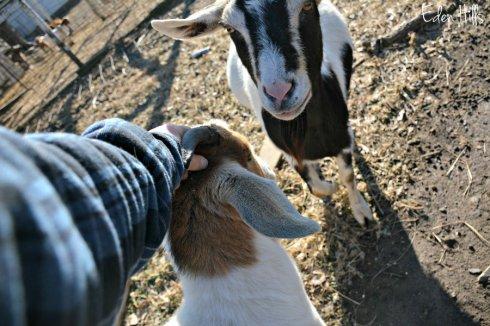 doe-goats_8698ews