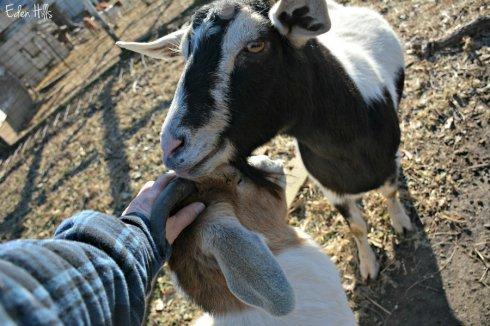 doe-goats_8699ews