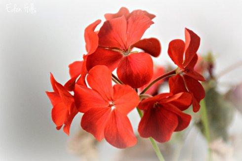 geranium_8505ews