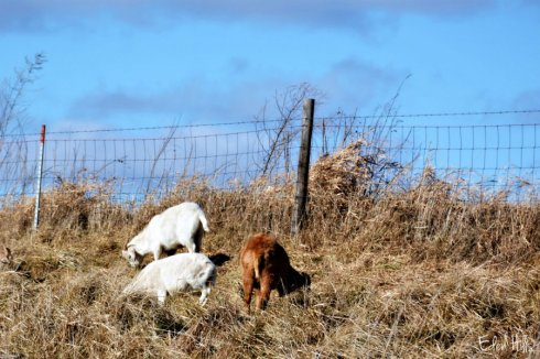 goat-kids_8597ews