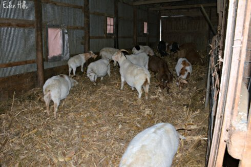 goats-and-new-bedding_8389ews