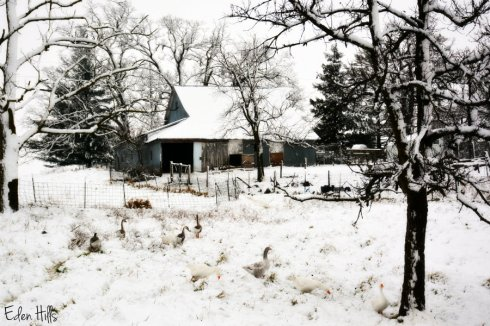 snowy-barn_8252ews