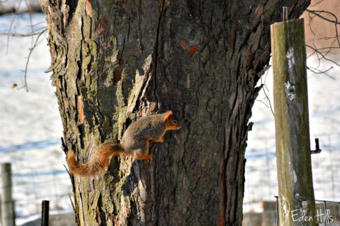 squirrel_8515ews