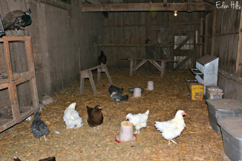 chickens-in-coop_9163ews