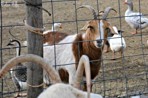 doe-goats_9501ews