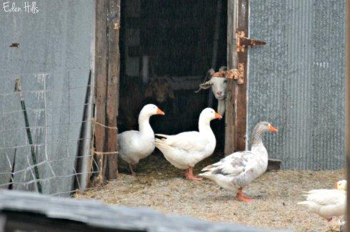 geese_9517ews
