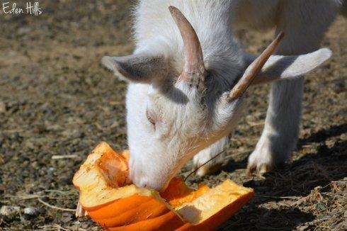 goat-pumpkin_9342ews