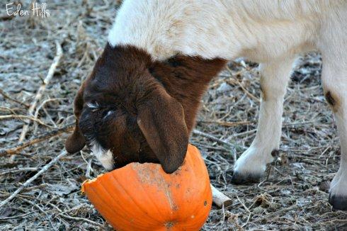 goat-pumpkin_9343ews