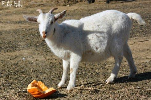 goat-pumpkin_9345ews