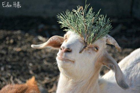goat-treet_8822ews