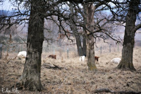goats_9082ews