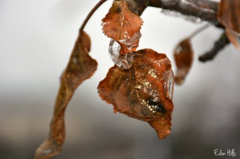 ice-leaves_9526ews
